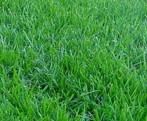 Kentucky Bluegrass lawn care wilson nc